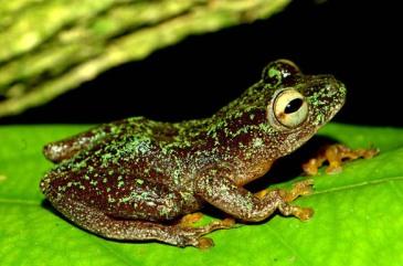DR Congo's reedfrog